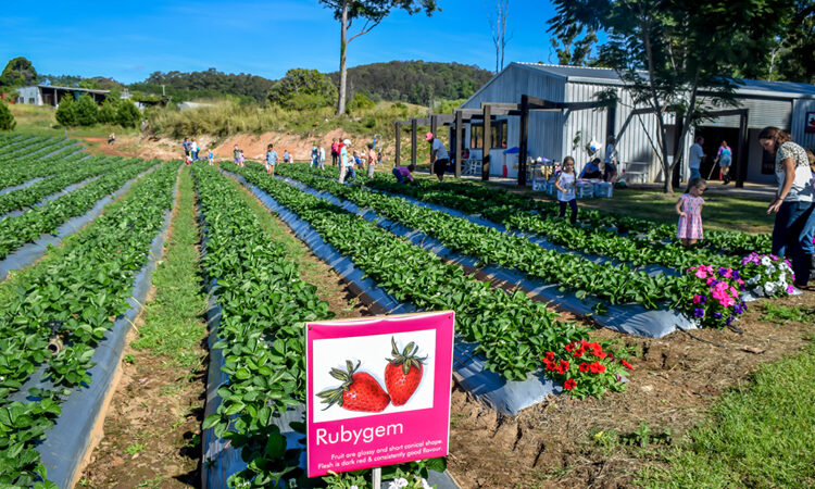 pick strawberries at cooloola berries
